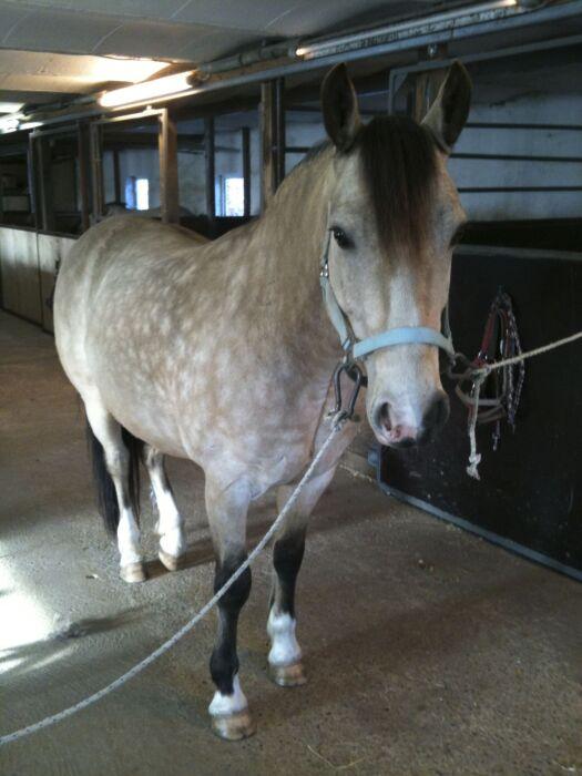 connemara pony sælges
